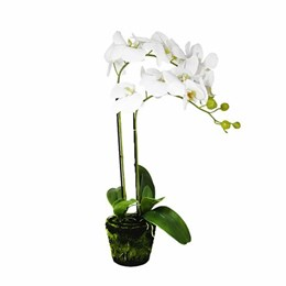 Art. Phalaenopsis Pot Plant - 2 Stem - White