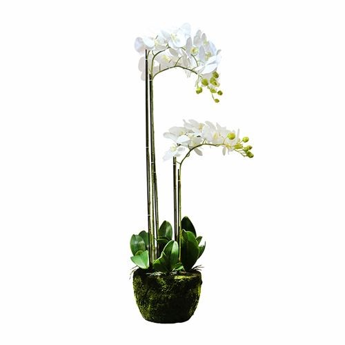 Art. Phalaenopsis Pot Plant - 5 Stem